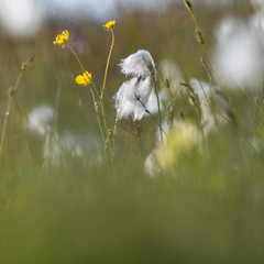 Summer meadow with cotton grass and buttercups