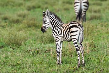 Canvas Prints Zebra Little shy baby zebra
