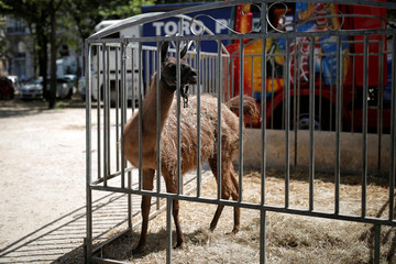 A llama is seen in a pen on the Invalides Esplanade during a demonstration held by a group of fairground and circus workers that support the use of animals in their shows, and protest against the cancellation of circuses