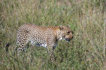Beautiful leopard in grass