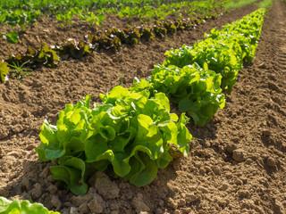 Grüner Salat auf dem Feld mit Bio Anbau