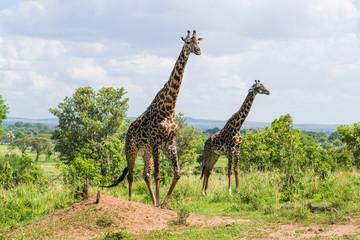 Male and female giraffe