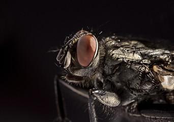 Side view portrait flesh fly - Sarcophagidae