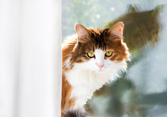 Portrait of a cat on the background of the window glass. Domestic cat looking out of the curtain