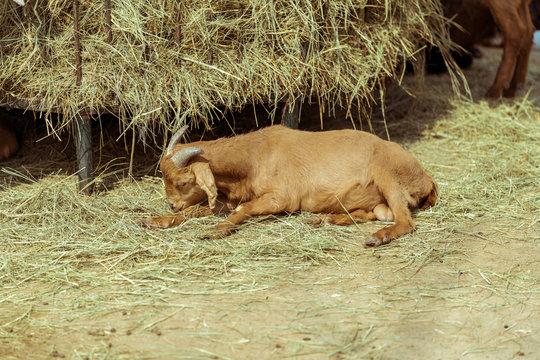 The lying goat