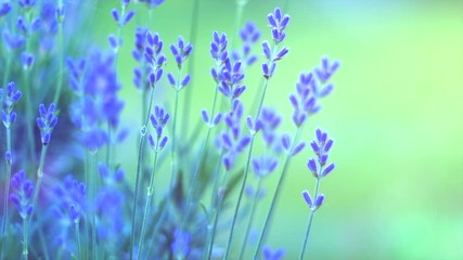 Fotoväggar - Lavender. Blooming violet fragrant lavender flowers closeup. Growing lavender swaying on wind. Slow motion 4K UHD video 3840X2160