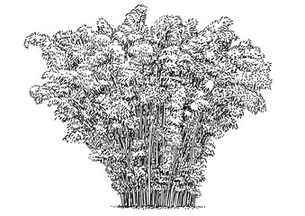 Bamboo tree, bush, illustration, drawing, engraving, ink, line art, vector