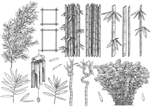 Bamboo colelction illustration, drawing, engraving, ink, line art, vector