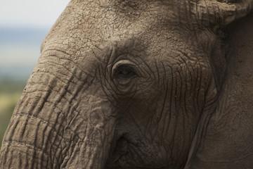 Elephant Face Close-Up