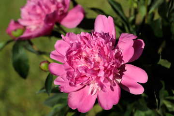 Pink peony (paeony) flower in the spring garden