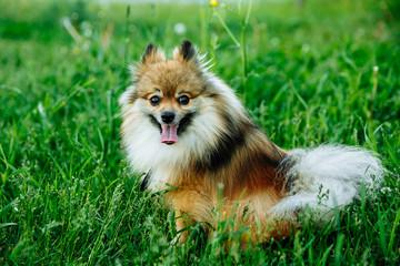 Cute Pomeranian sitting on green grass