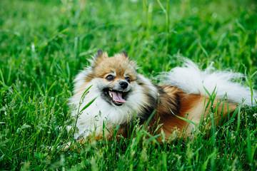 Cute Pomeranian lying on green grass