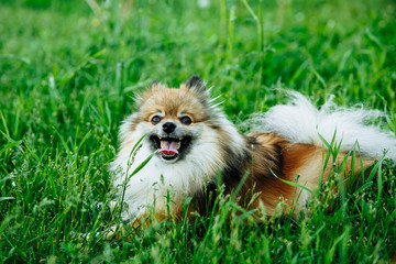 Cute Pomeranian lying on green grass