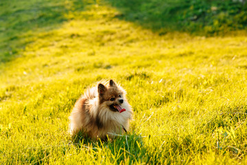 cute fluffy Pomeranian dog sitting in a spring park on a sunny day