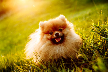 Portrait of cute puppy of Pomeranian dog with orange and white color sitting on grass
