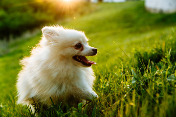 cute white fluffy Pomeranian dog sitting in a spring park surrounded by yellow flowers on a sunny day