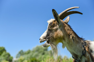 Portrait of goat with an open mouth, on the meadow