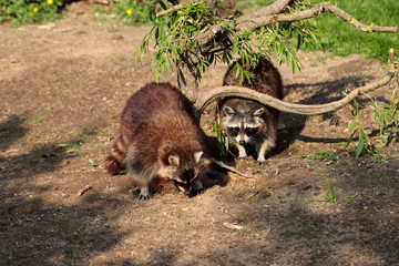 Full body of two common raccoons