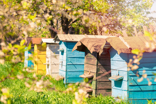 Beehives stand in a row on grass, apiary.