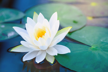 Printed roller blinds Lotus flower beautiful White Lotus Flower with green leaf in in pond