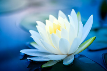 Foto op Plexiglas Lotusbloem beautiful White Lotus Flower with green leaf in in pond