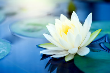 Wall Murals Lotus flower beautiful White Lotus Flower with green leaf in in pond