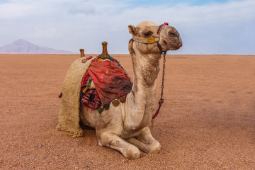 Camel in the Sinai Desert, Sharm el Sheikh, Sinai Peninsula, Egypt.