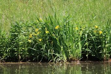 Iris pseudacorus in the river Weiße Elster in Leipzig Germany