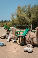 Foto en vertical de camellos descansando