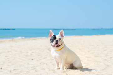 Poster Bouledogue français french bulldog stand on the sand beach