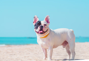 Papiers peints Bouledogue français french bulldog stand on the sand beach