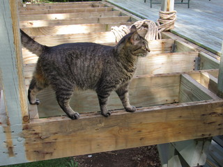 Striped tabby cat balancing on a wooden plank outside