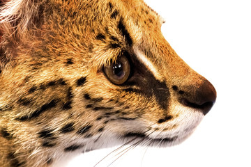 Margay cat,kitty 8 month isolate on background.Copy space.Closed up.