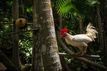 White fighting rooster with bright red comb (crest) - Philippines