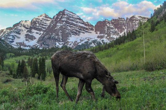 Moose on Aspen-Snowmass Hiking Trail