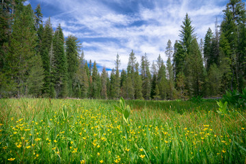 Green Forest Meadow With Yellow Wild Flowers - Yosemite National Park, California  Fotobehang