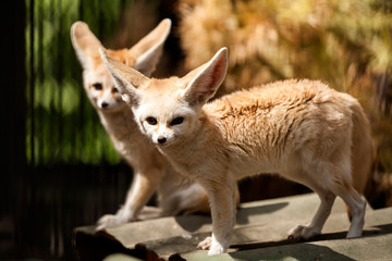 Two small red fennec fox walk along the shore, in the background trees