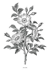 Wild rose hand drawing black and white vintage clip art isolated on white background