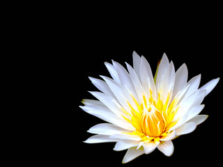 White lotus flower on black background