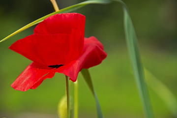 FLOWERS: red poppy - a green background
