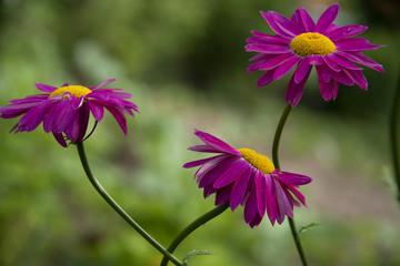 FLOWERS: three purple flowers - midday sun