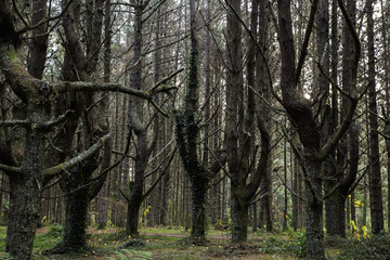 Knotted Pine Forest