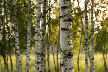 birch summer nature landscape with light of morning sun