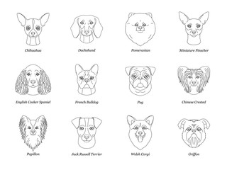 set, collection of isolated black outline head of chihuahua dachshund, papillon, spitz, pug, miniature pinscher welsh corgi french bulldog griffon on white background. Line cartoon breed dog portrait.