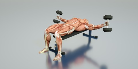 Medically accurate 3D illustration of a bodybuilder
