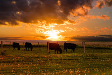 Bulls graze in a meadow on the sunset and the stormy sky background. Iowa State. USA