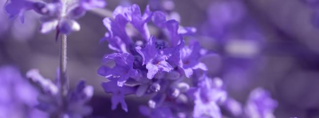 field lavender flower background