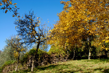 Tree covered of yellow foliage against blue sky. Tuscany landscape, Italy Europe