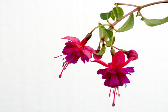 Close up of a branch with blooming pink fuchsia flowers isolated against white background