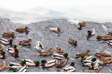many ducks swimming in ice hole of frozen lake